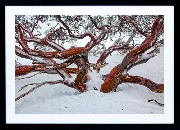 Framed Print - Red Snowgum
