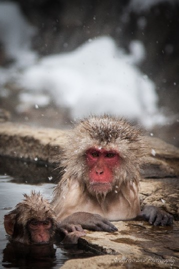 A couple of Japanese Macaques lounging in the Onsen.