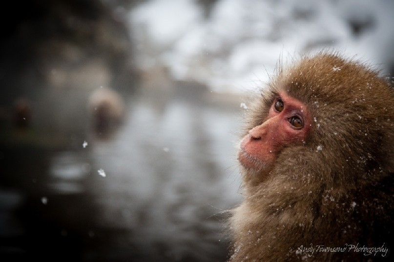 Macaque in outdoor bath at Jigokudani Monkey Park