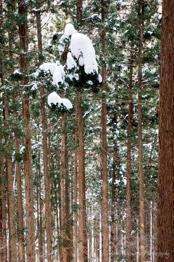 Snow balances on tall forest slopes of the Jigokudani valley.