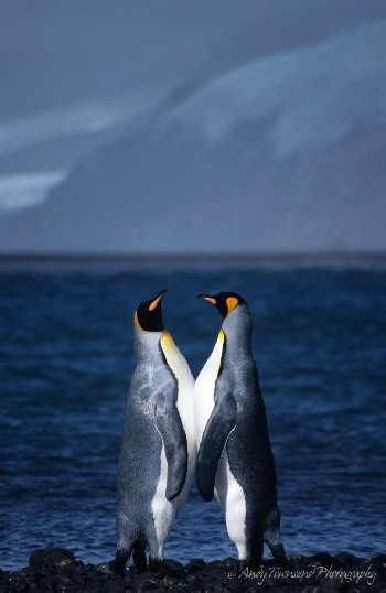 Two King penguins (Aptenodytes patagonicus) rub bellies on the rocky shoreline of Atlas Cove, Heard Island.