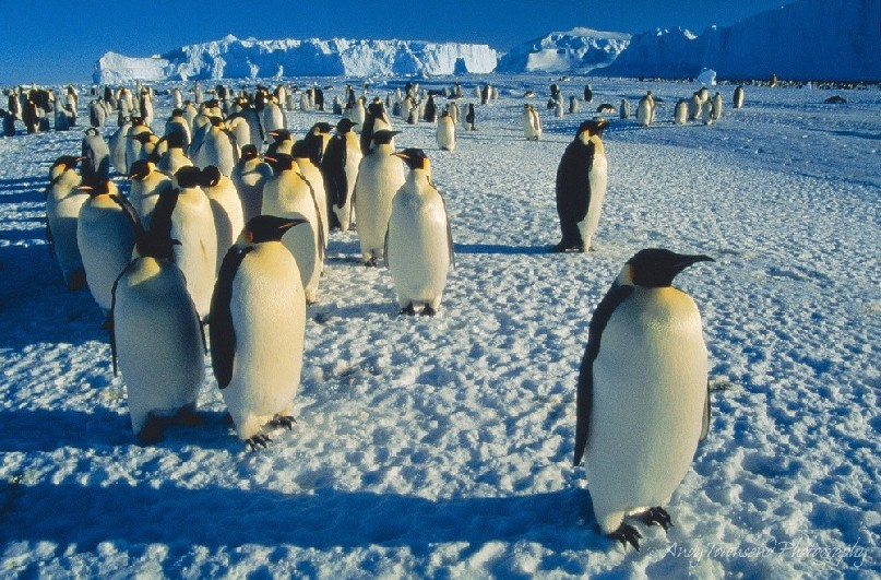 Emperor penguins (Aptenodytes forsteri) group together on sea ice surrounded by icebergs at Auster Rookery in Antarctica.