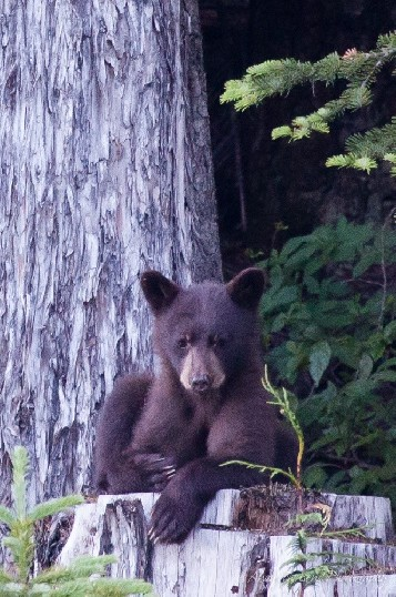 A black bear (Ursus americanus) cub sits on an old logging stump in a relaxed position.