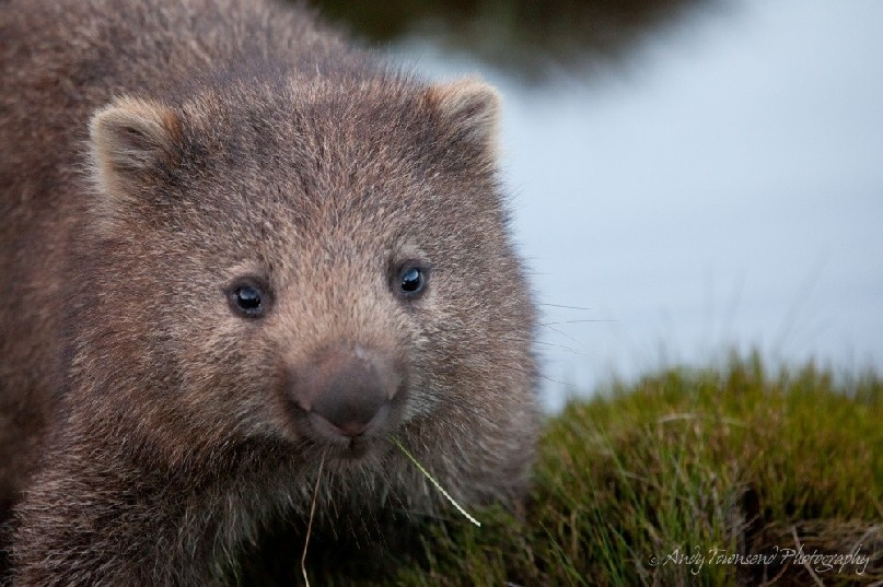 This small common wombat (Vombatus ursinus) pauses to look up mid-chew with a couple of blades of grass in its mouth.