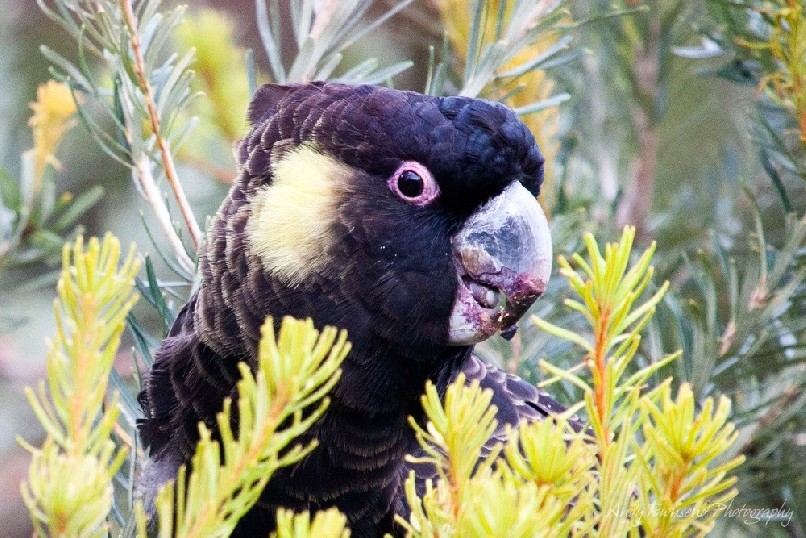 A male Yellow-tailed Black- Cockatoo (Calyptorhynchus fenereus) crunches into a  bansksia cone.