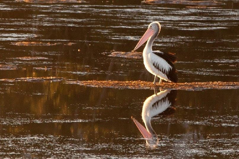 Warm afternoon light highlights a pelican (Pelecanus conspicillatus) and it's reflection.