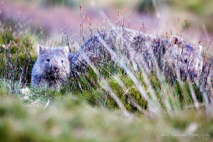 A baby wombat sticks close to its mother while foraging for food.