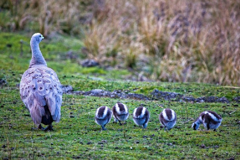 These 5 new Cape Barren goslings (Cereopsis novaehollandiae) feed continuously while Mum watches on.