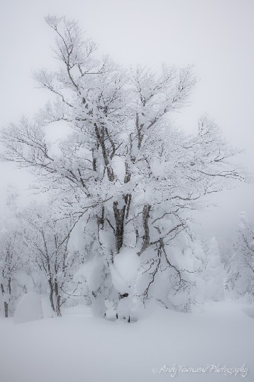 An old beech forest in winter with heavy snow buildup in the lower branches.