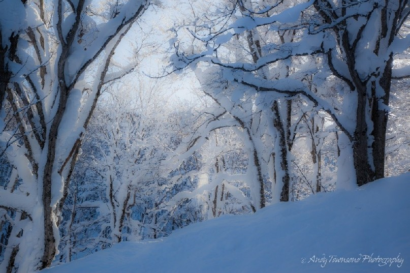 A morning snow storm covers these beech trees on a steep slope in Hakkoda.