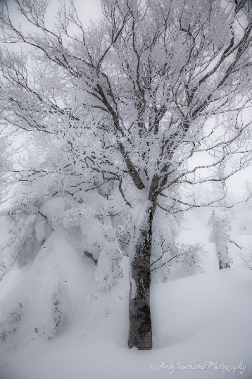 Multiple snow falls coat these fir and beech trees.