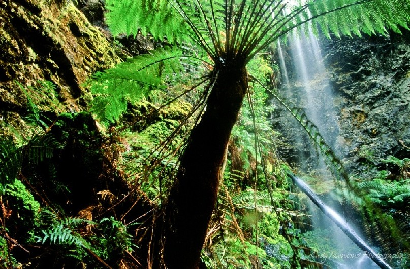 Nestled at the top of a small cliff-lined stream bed is the beautiful Lover's Falls cascading among the tall tree ferns (Dicksonia antarctica).