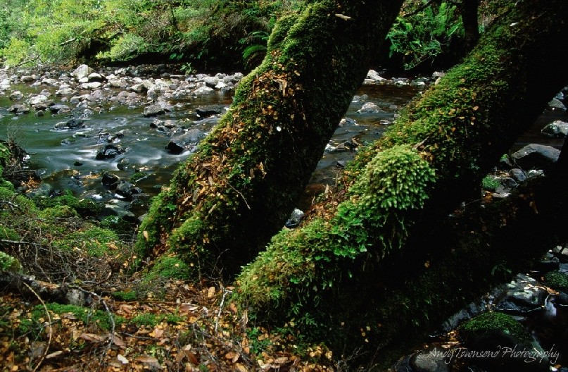 The mossy trunks of three small myrtle beech trees on the edge of a small stream.