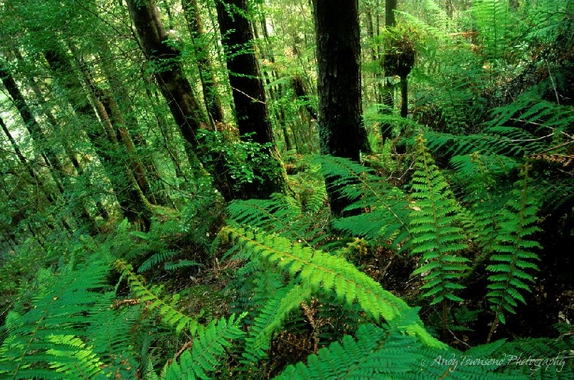 Forest ferns and sassafrass trees growing on a slope on the side of Mt Donalson.