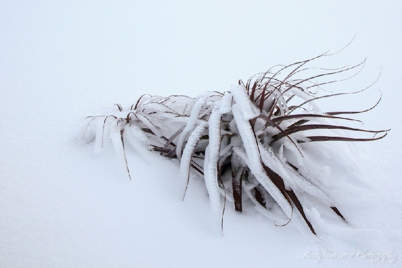 A layer of ice covers the fronds of these two Pandani (Richea pandanifolia)  plants surrounded by a bank of snow.