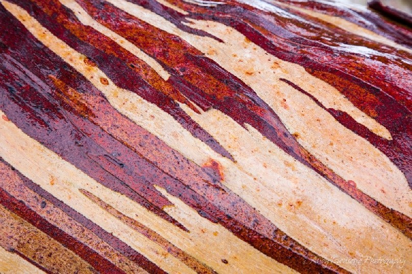 Light rain on the bark of this Tasmanian snow gum (Eucalyptus coccifera) branch causes the the colours to stand out.