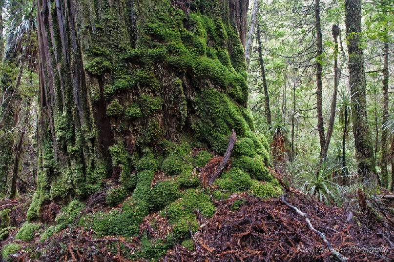 A moss covered king billy pine buttress in the Labyrinth.