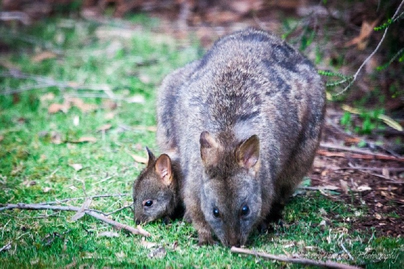 A mother and baby pademelon feed on our back lawn.