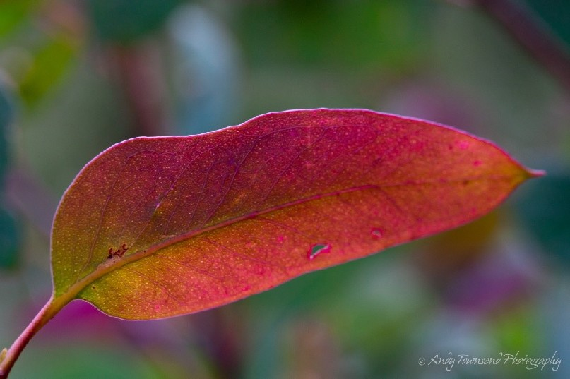 A red, green and purple-tinged eucalytus leaf.