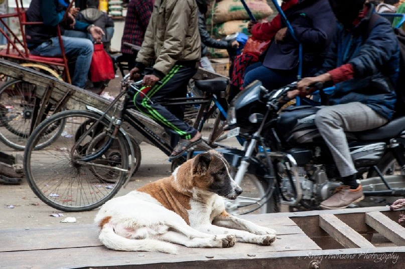 A dog sits on a wooden trolley amid a busy street in Delhi.