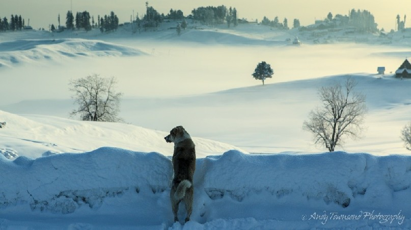 A layer of mist over covers the lower parts of Gulmarg as a dog surveys the scene.