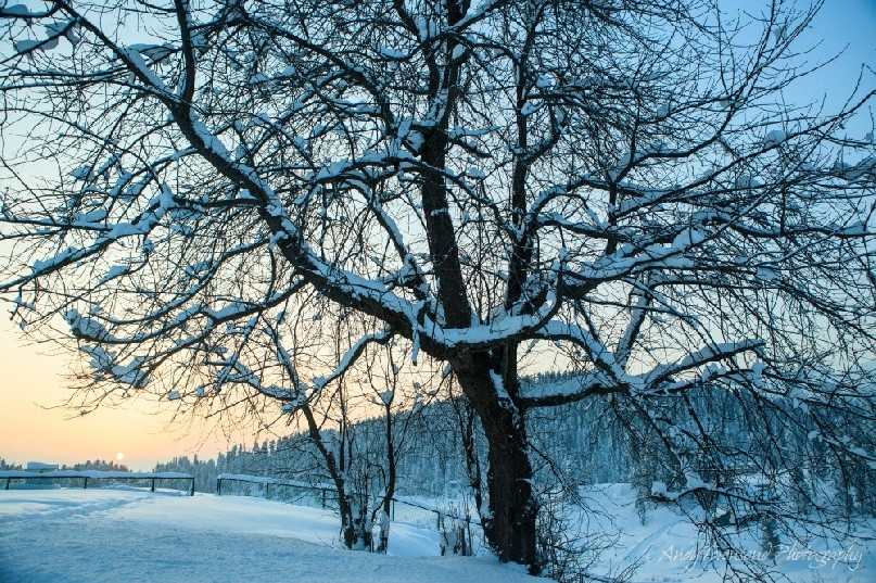 Fresh snow lies in the branches as the sunrises over a forested ridgeline beyond.