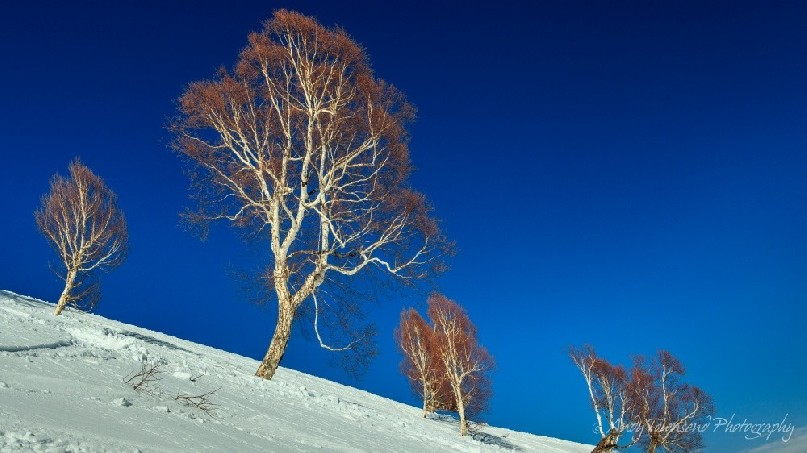 A grove of birch trees with clear blue sky on an open snow slope.