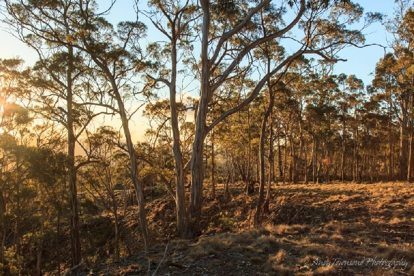 Evening light through a forest of eucalypts.