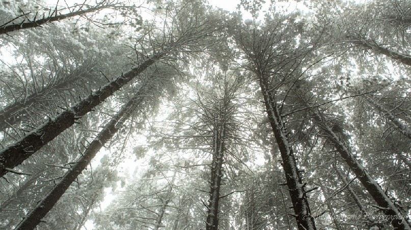Looking up towards the canopy of snow-covered pine trees
