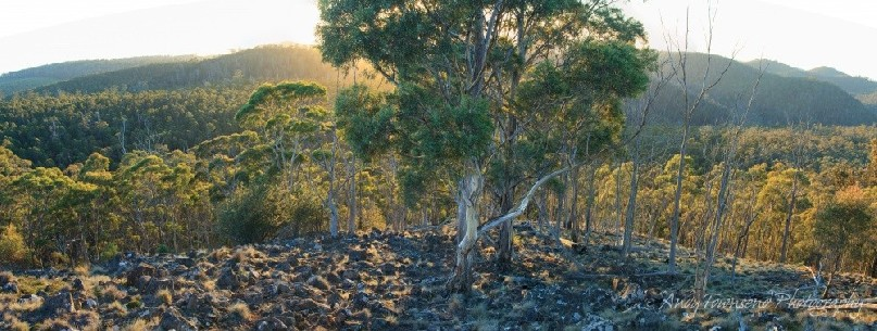 A stand of white peppermint gum (Eucalyptus pulchella) catches the first light.
