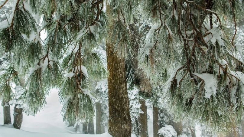 Soft green pine needles covered in snow frame a snow-covered forest beyond.