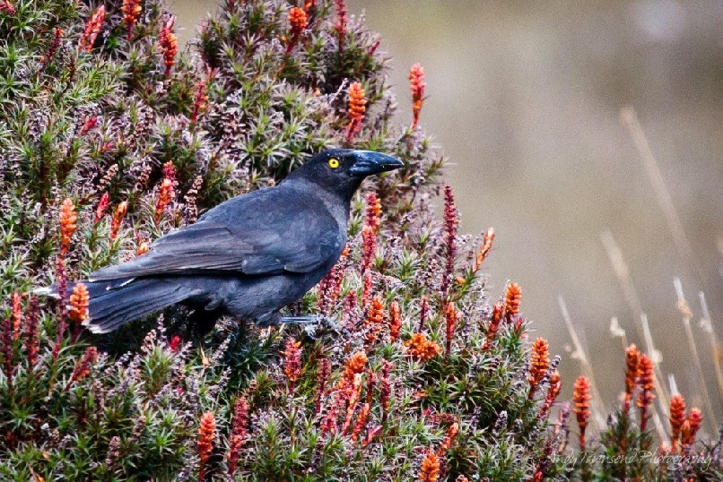 A Black Currawong (Strepera fuliginosa) rests on a flowering scoparia (Richea scoparia) plant.