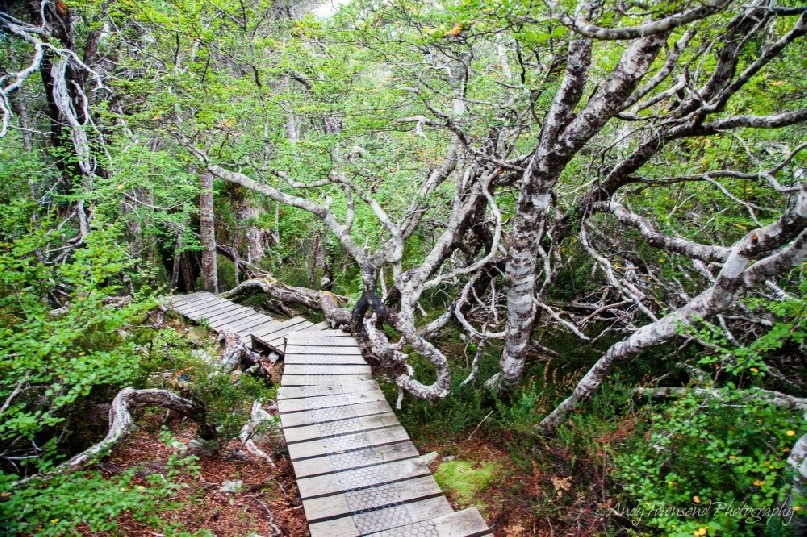 Boardwalk through the fagus (Nothofagus gunnii).