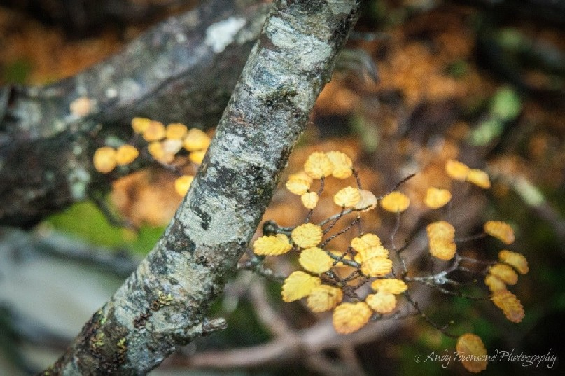Close up of fagus (Nothofagus gunnii) leaves and branches.