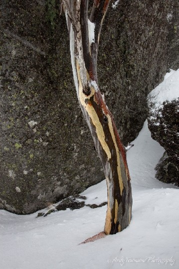 A lone snow gum (Eucalyptus pauciflora) in a rock gully near Spencers Creek, Kosciuszko National Park, Australia.