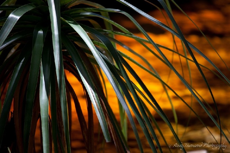 A closeup of pandani (Richea pandanifolia) with sunlight lighting up tannin water with a golden glow.