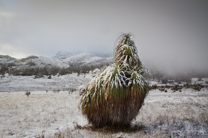 An overnight snowfall coats this cluster of pandani plants and the landscape beyond.
