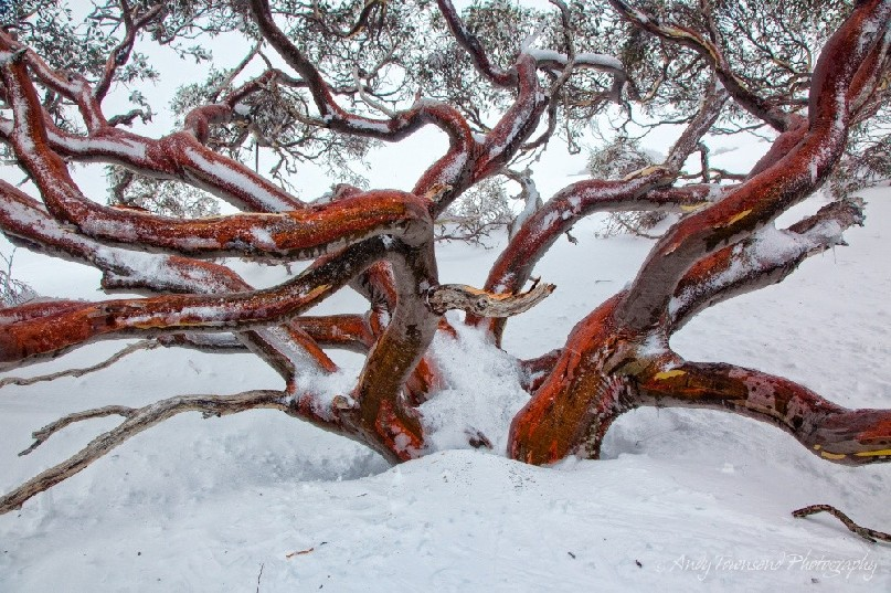 The curving branches of this snow gum  (Eucalyptus pauciflora) remind me of an octopus, Kosciuszko National Park, Australia.