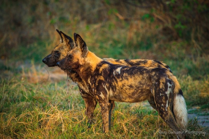 Two African Wild Dogs (Lycaon pictus) looking intently with ears up.