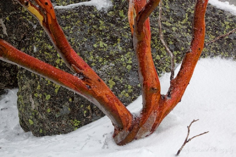 A young snow gum (Eucalyptus pauciflora) with bright red branches, Kosciuszko National Park, Australia.