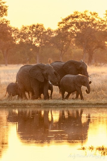 A family of African bush elephants (Loxodonta africana) enthusiastically visit a large waterhole.
