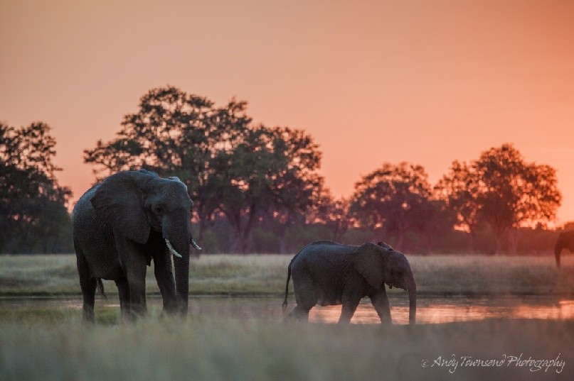Two elephants at sunset pause after drinking.