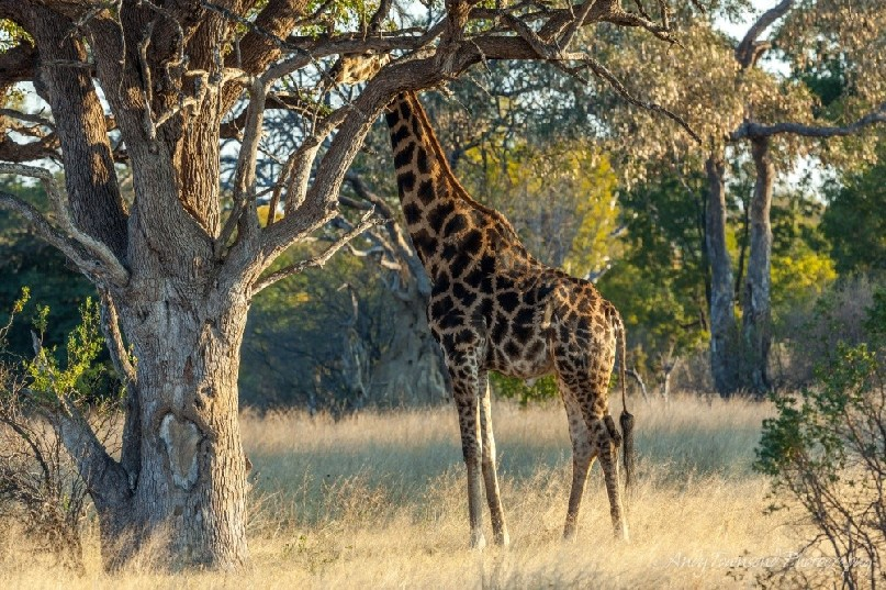 A male giraffe (Giraffa camelopardalis) pauses after eating acacia tree in the afternoon light.