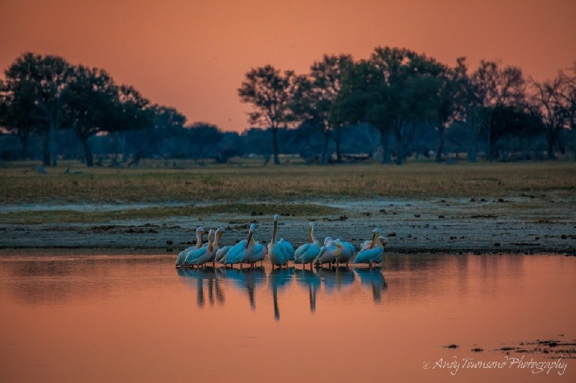 Great white pelicans (Pelecanus onocrotalus) preening at sunset