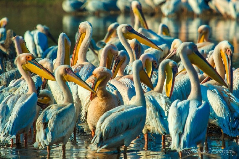 A large group of Great white pelicans (Pelecanus onocrotalus) .