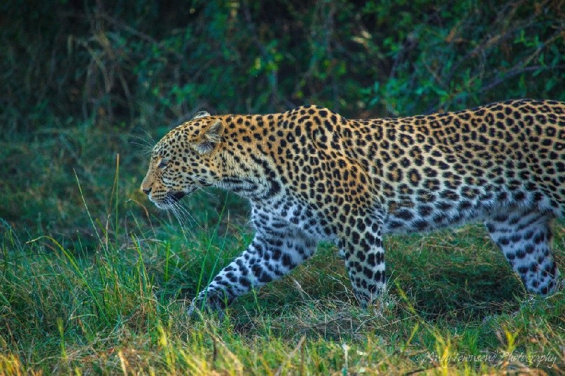 A leopard (Panthera pardus) moving through the grass.