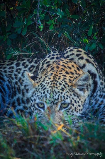 A leopard (Panthera pardus) rests in the shade.