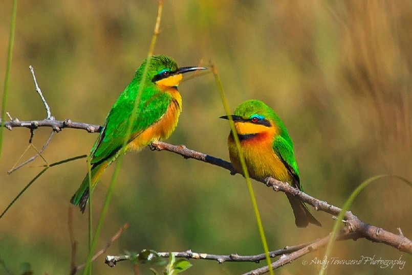 Little bee-eaters (Merops pusillus) balancing on branch.