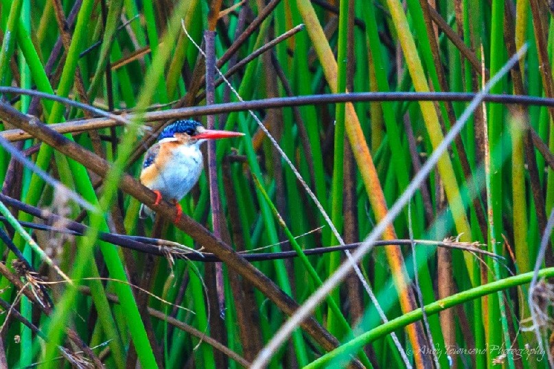 Malachite kingfisher (Corythornis cristatus) balancing on reeds.