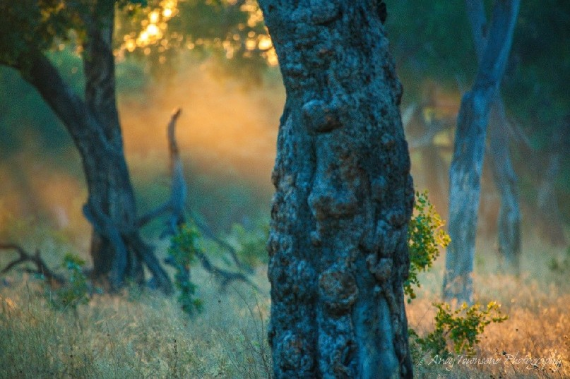 Sunlight catches early morning mist surrounded by false mopane forest.